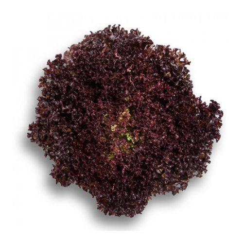 Fejes saláta Cencibel 1000 szem RZ