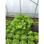 Fejes saláta Gaudea 1000 szem RZ