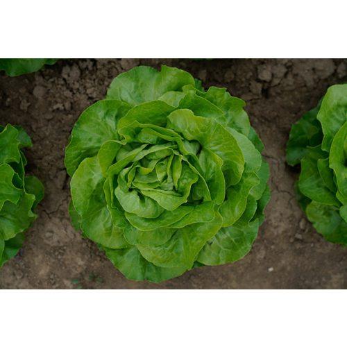 Saláta Aurelian 5000 szem SG