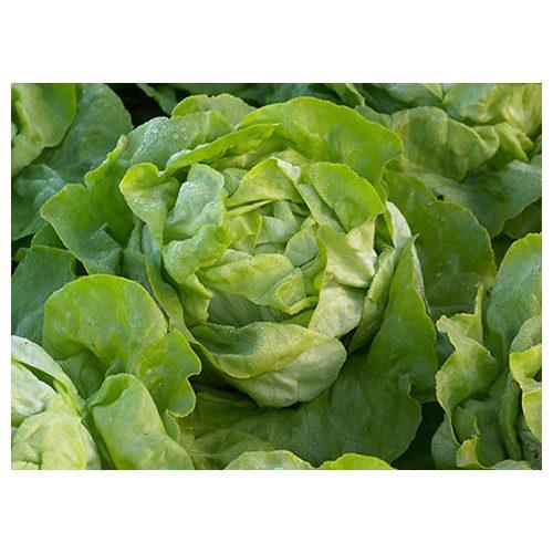 Saláta Orelian 5000 szem SG